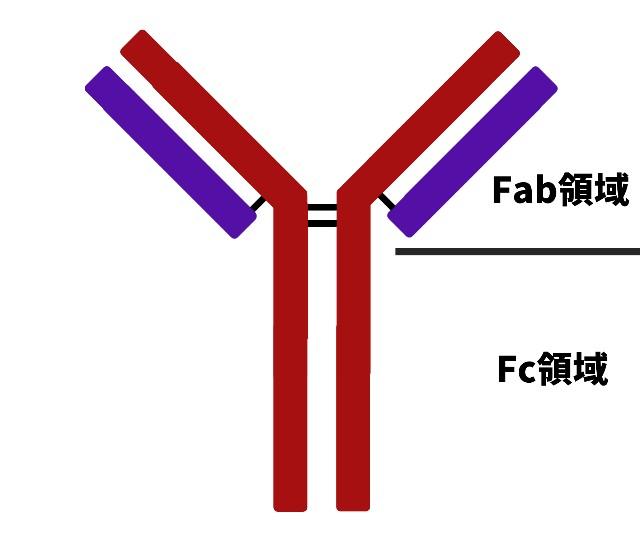 抗体の説明